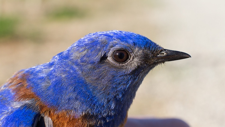 April 25, 2013. Male Western Bluebird in the hand.