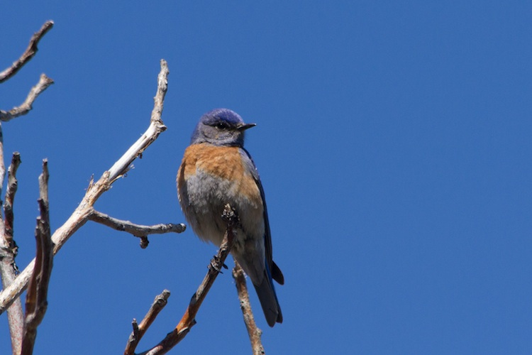 April 22, 2013.  Male Western Bluebird in southcentral British Columbia.
