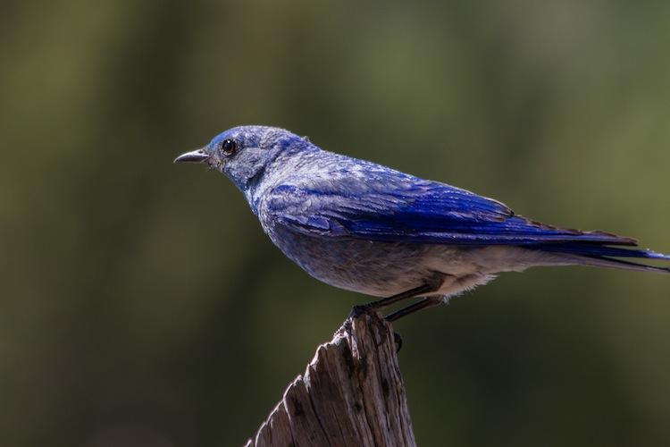 Male Mountain Bluebird.