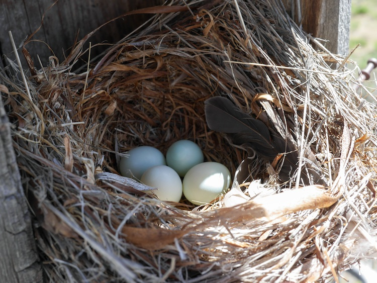 An incomplete Mountain Bluebird Nest with 4 eggs.