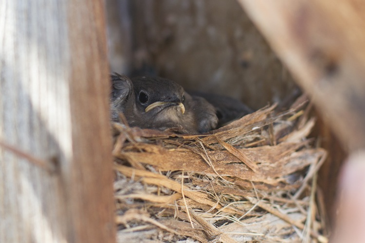 Mountain Bluebird nestlings.